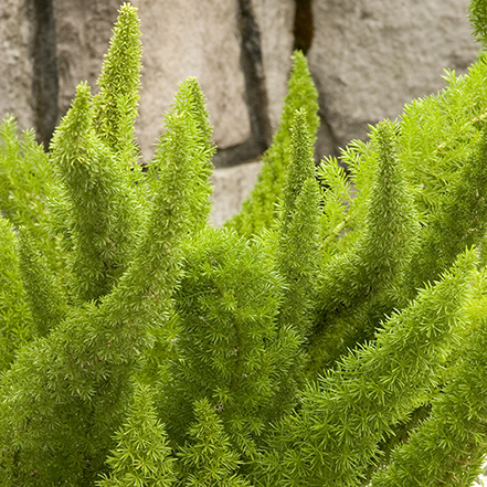green foxtail fern