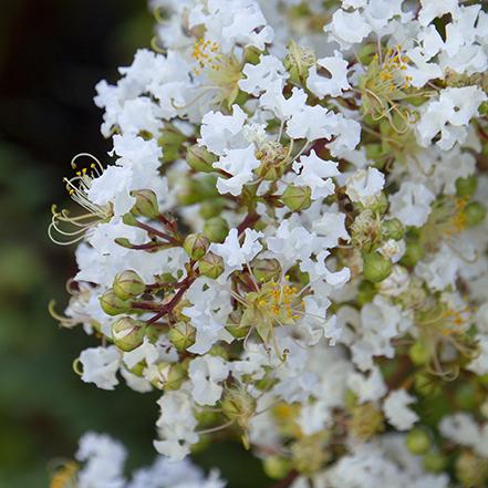 white crape myrtyle flower