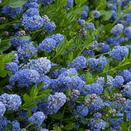california lilac flowers are great pollinator plants