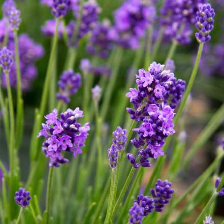 plant that attracts bees: purple lavender flowers