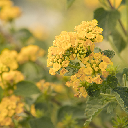 golden yellow lantana blooms