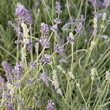 lavender flowers on green stems