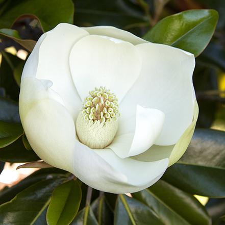 05943_little_gem_magnolia