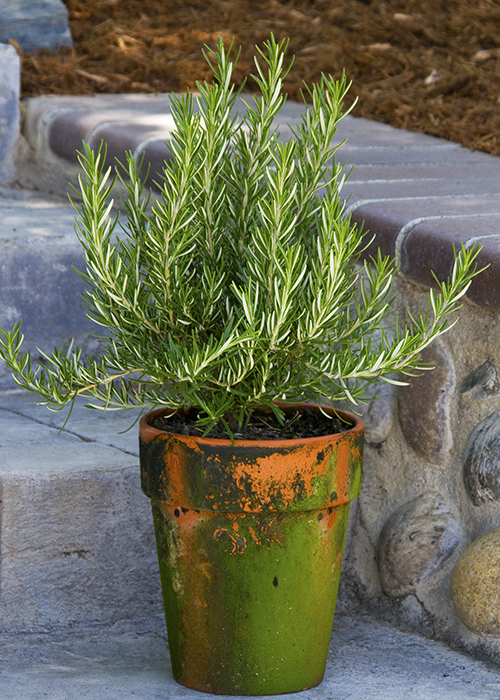 rosemary plant in copper and green container
