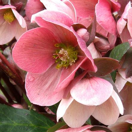 pinbk hellebore flowers