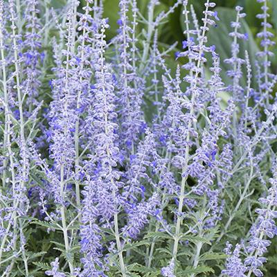purple spikes of flowers on russian sage