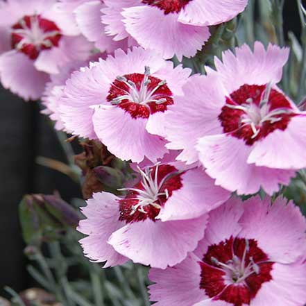 Scent from Heaven™ Angel of Peace Dianthus