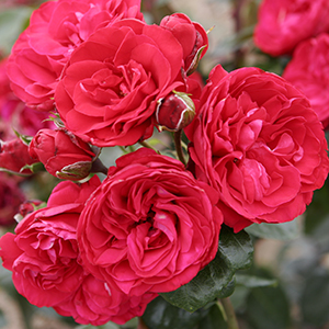 Crimson Sky™ Climbing Rose