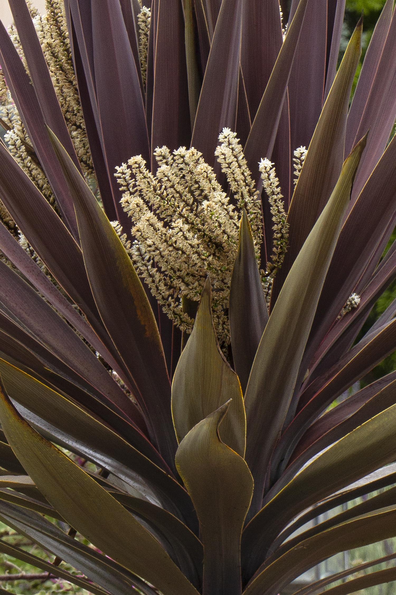 drouight-tolerant cordyline baueri has maroon foliage and a unique cream flowers