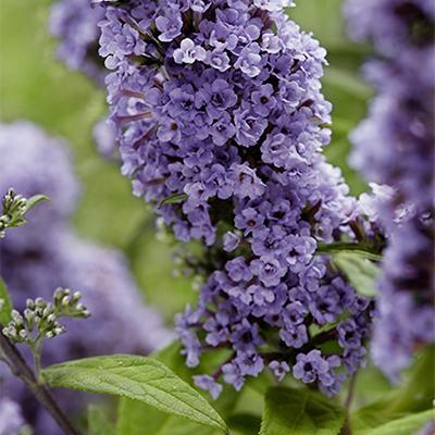 purple blooms on buddleja butterfly bush summer lilac