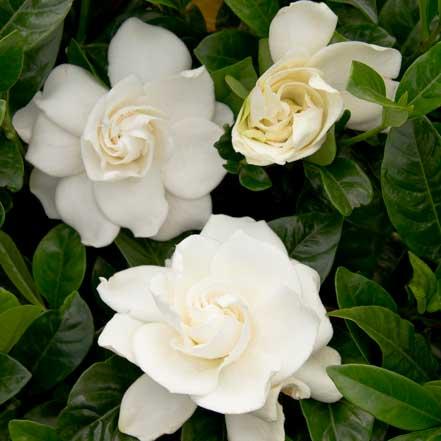 3757-first-love-gardenia-grafted-close-up-v1_3