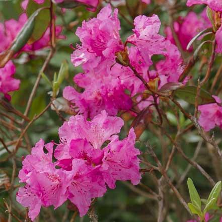 40575-Rhododendron-Landmark_Millette_