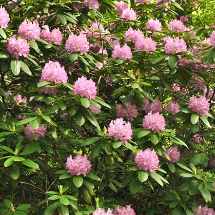 40817-Rhododendron-Roseum-Pink_Millette_441