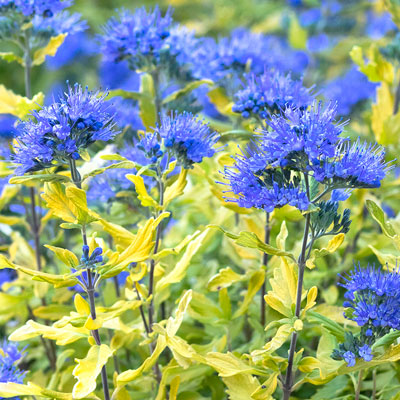 la barbe bleu bluebeard with blue flowers and yellow-green leaves