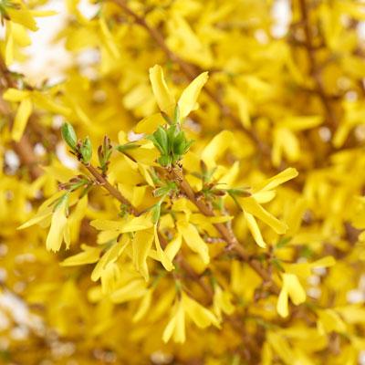 yellow deer-resistant forsynthia flowers