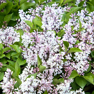 light-lavender lilac blooms with green leaves