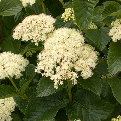 white viburnum flowers with green leaves