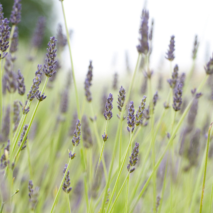 hidcote giant english lavender