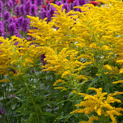 yellow solidago flowers attract butterflies and bees