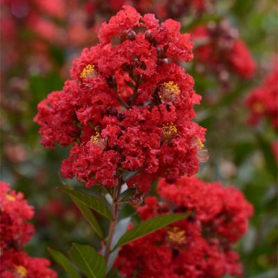 Enduring summer red Crape Myrtle