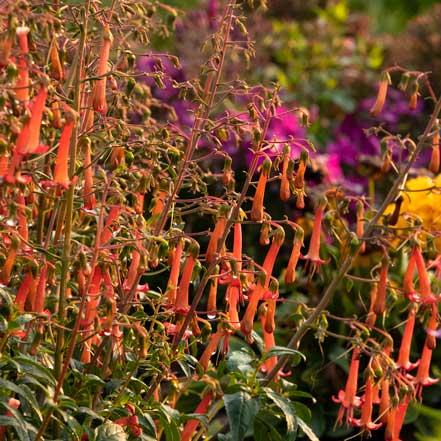 this orange cape fuscia plant attracts hummingbirds