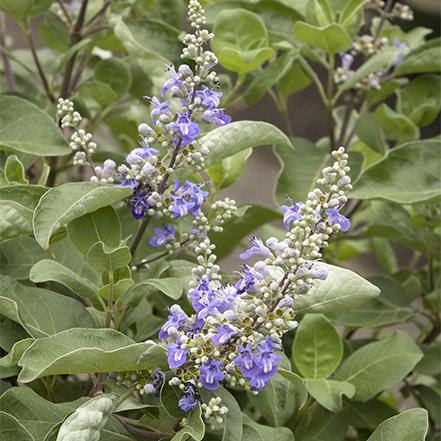 summertime blues chaste tree flowers