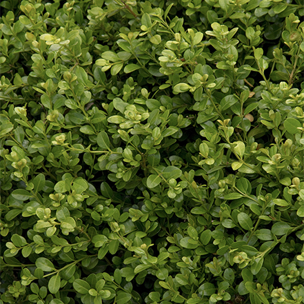 green boxwood pruned into cubes in hedge