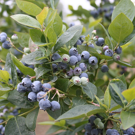 Jubilee Blueberry