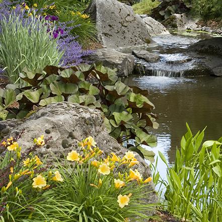 yellow dwarf daylily beside a pond