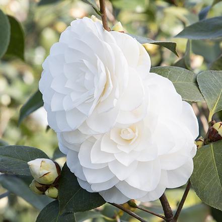 white nuccios gem camellia flowers