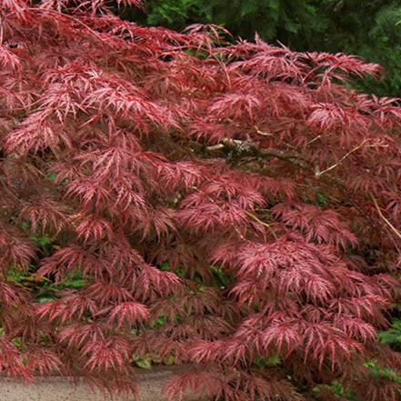 red japanese maple leaves on velvet viking tree