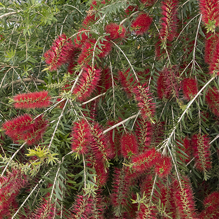 bottlebrush with bright red flowers and green foliage