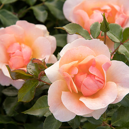 peach rose flower