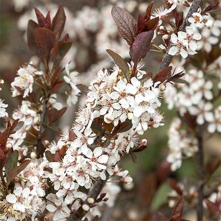 white flowers and purple leaves on darkstar sand cherry