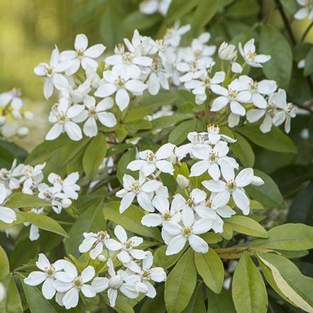 white sundance mexican orange blossom flowers