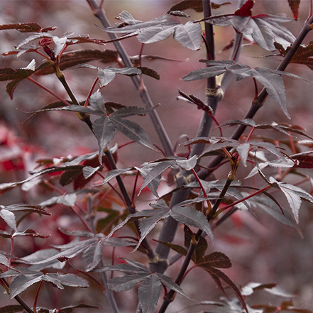 red leaves on twombly red sentinel japanese maple