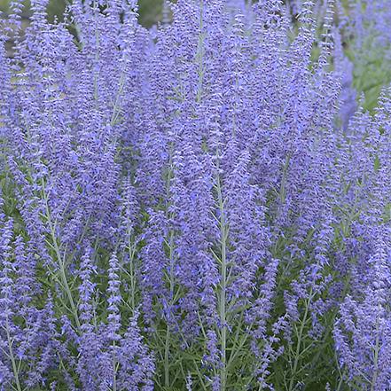 purple russian sage flowers