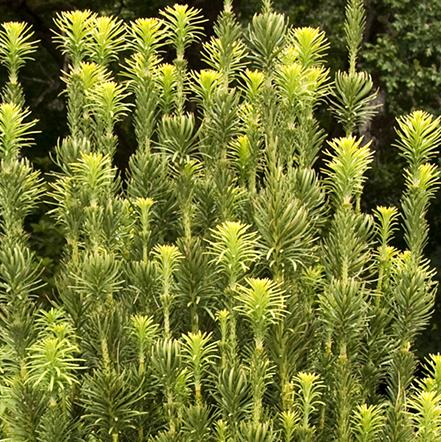 441sqCephalotaxus-Upright-Japanese-Yew