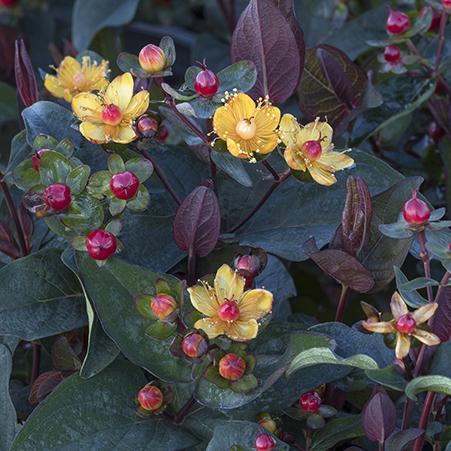 441sqHypericum-FloralBerry-Sangria