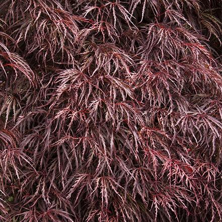 crimson queen japanese maple foliage