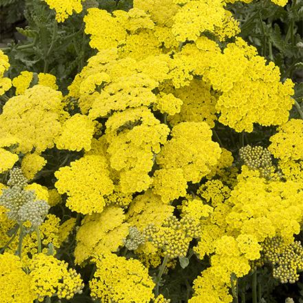 yellow yarrow flowers