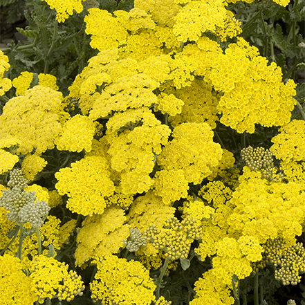 yellow yarrrow flowers are great for all kinds of beneficial insects