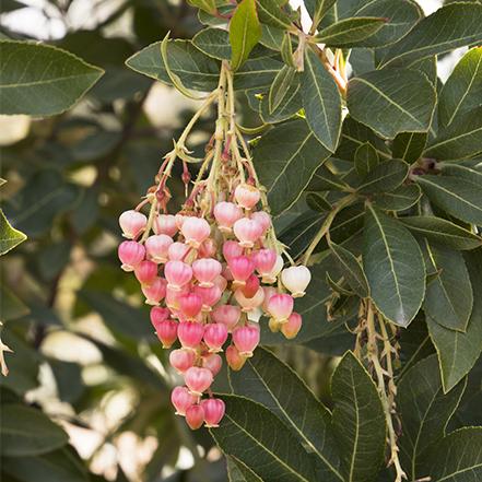 pink fruit on marina strawberry tree