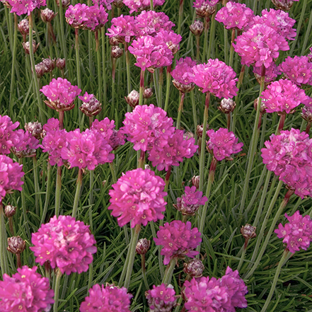 pink armeria flowers on thin stems