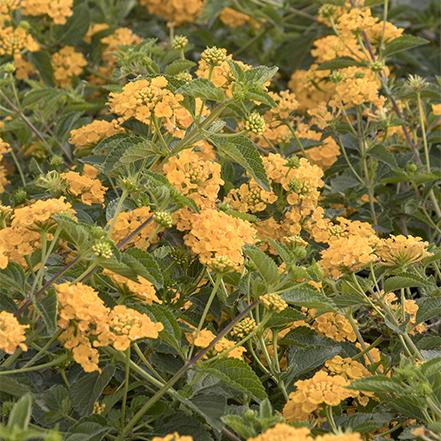 yellow new gold lantana flowers