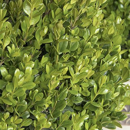 small, glossy green leaves on faulkner boxwood