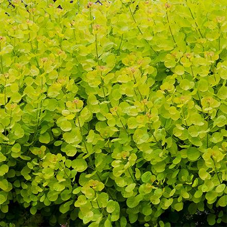 bright green smoke tree leaves