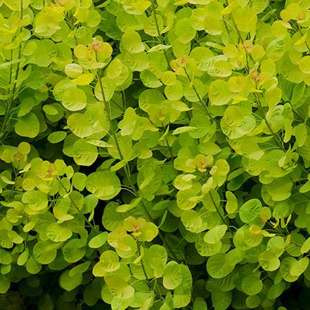 bright green foliage of golden spirit smoke tree