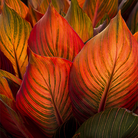 backlit red canna leaves