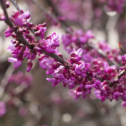 pink flowers on forest pansy redbud